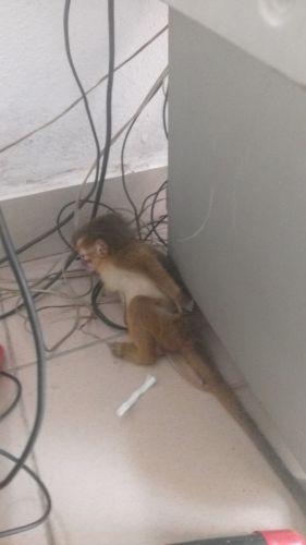Capuchins Monkey Animals for sale in Washington, DC, USA. price 350USD