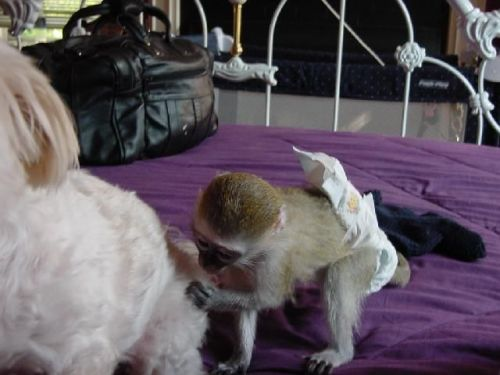 Capuchins Monkey Animals for sale in Federal Way, WA, USA. price -USD