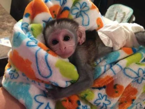 Capuchins Monkey Animals for sale in Los Angeles, CA 90012, USA. price 250USD