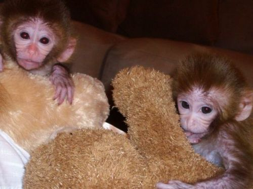 Capuchins Monkey Animals for sale in Los Angeles, CA, USA. price -USD
