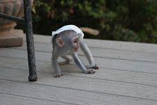 Capuchins Monkey Animals for sale in Birmingham, AL 35201, USA. price 300USD