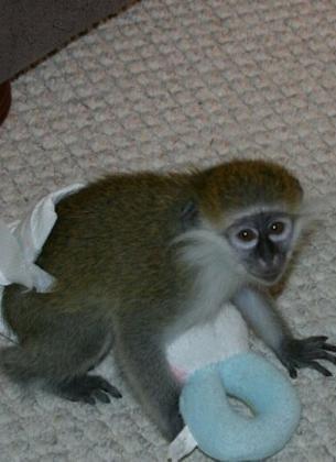 Capuchins Monkey Animals for sale in Buffalo, NY 14201, USA. price 300USD