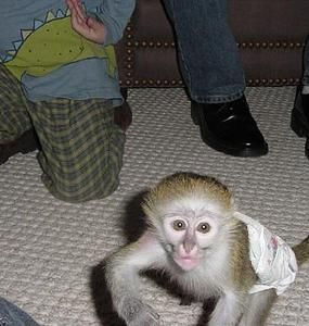 Capuchins Monkey Animals for sale in Colorado Springs, CO 80901, USA. price 300USD