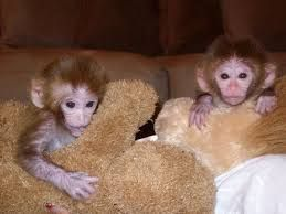 Capuchins Monkey Animals for sale in Atlanta, GA, USA. price -USD