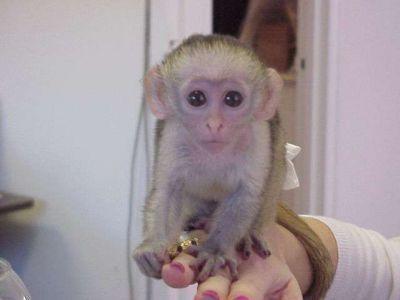 Capuchins Monkey Animals for sale in Hogansburg, Bombay, NY, USA. price 600USD
