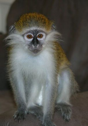 Capuchins Monkey Animals for sale in Atlanta, GA 30338, USA. price -USD