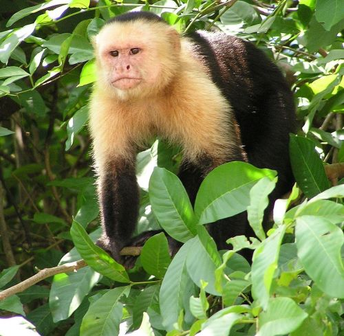 capuchins monkey for sale