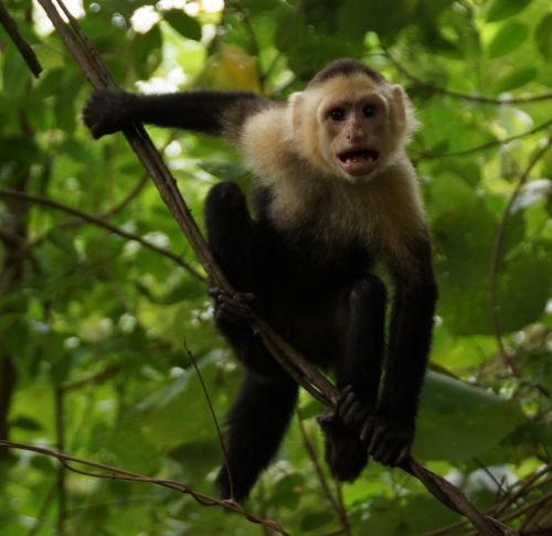 capuchins monkey sale