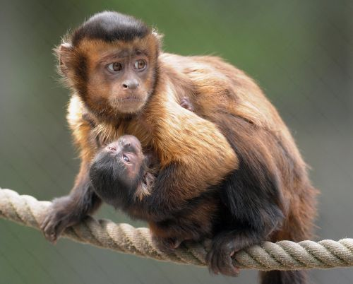 capuchins monkeys