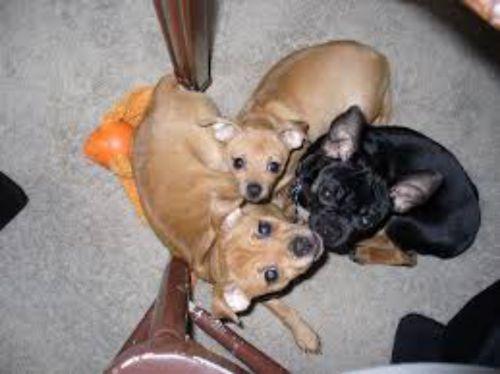 carlin pinscher dogs
