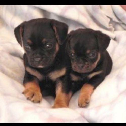carlin pinscher puppies