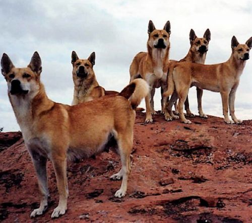 carolina dog dogs