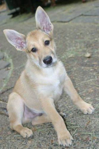 carolina dog puppy