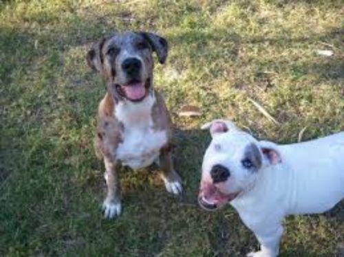 catahoula bulldog dogs