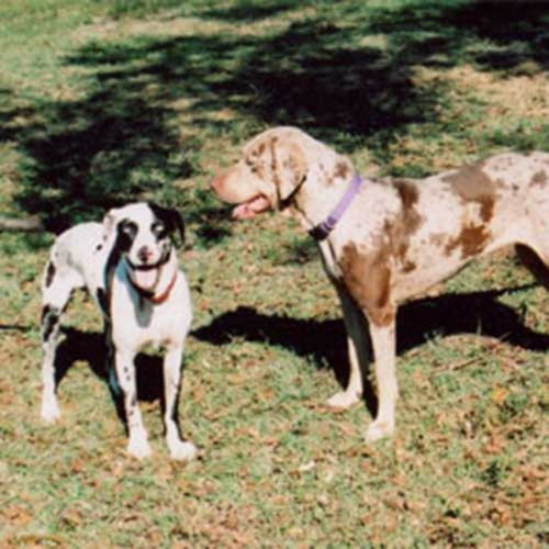 catahoula cur dogs
