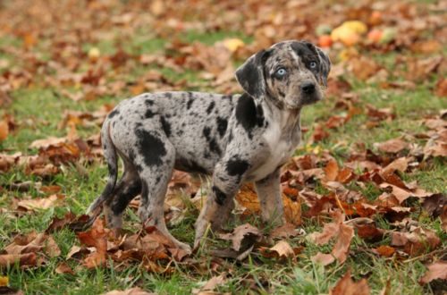 catahoula leopard puppy