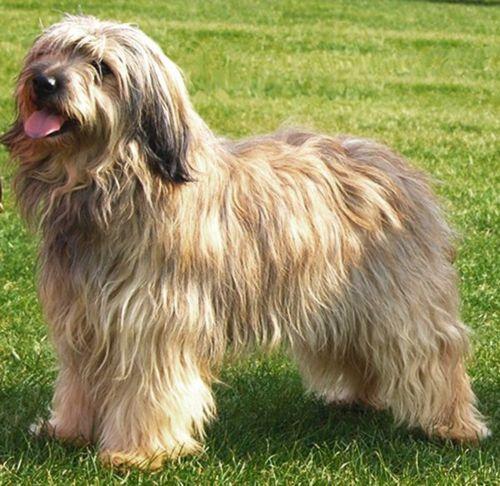 catalan sheepdog dog