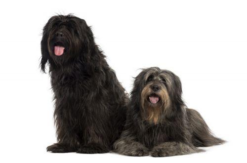 catalan sheepdog dogs
