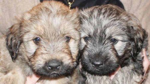 catalan sheepdog puppies