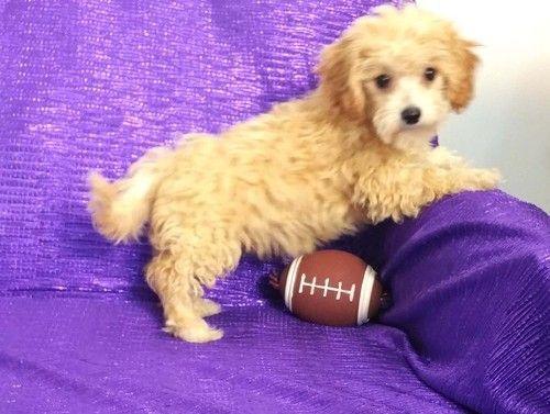 Cavapoo Puppies For Sale | Michigan | Petzlover