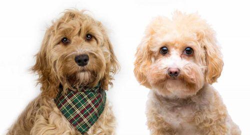 cavapoo dogs