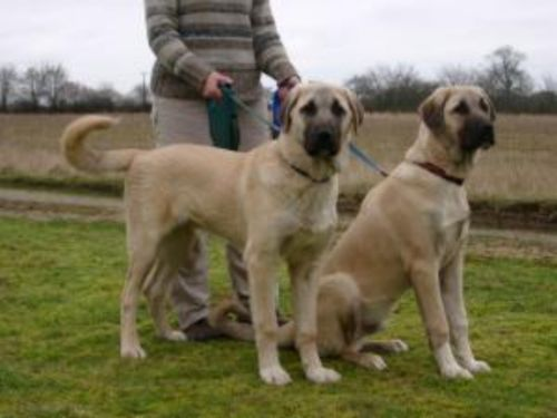 central anatolian shepherd dogs