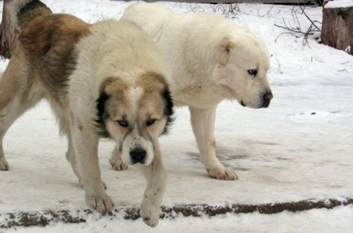 central asian shepherd dogs