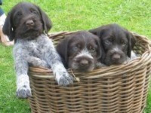 cesky fousek puppies