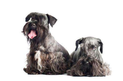 cesky terrier dogs