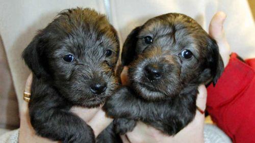 cesky terrier puppies