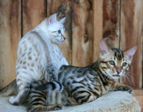 cheetoh cats