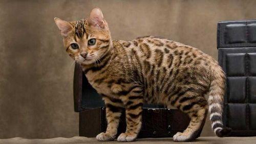 cheetoh kitten