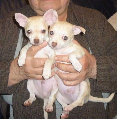 Chihuahua Puppies for sale in Southfield, MI, USA. price 400USD