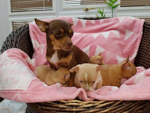 Chihuahua Puppies for sale in Virginia Beach, VA, USA. price -USD