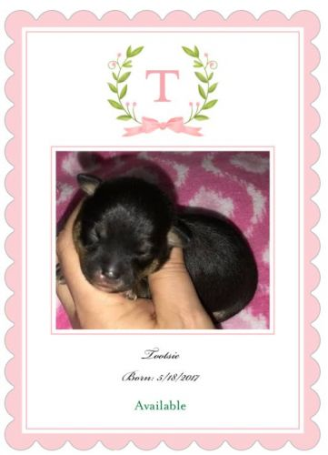 Chihuahua Puppies for sale in North Hills, Raleigh, NC, USA. price 650USD