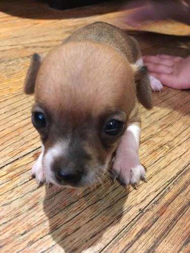 chihuahua rescue ny chihuahua puppies for sale allen street new york ny 1333