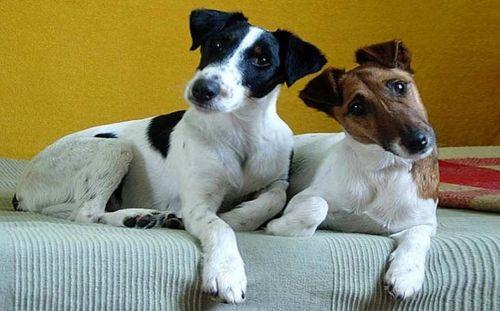 chilean fox terrier dogs