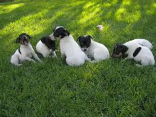 chilean fox terrier puppies