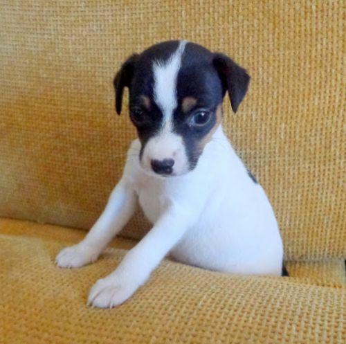 chilean fox terrier puppy