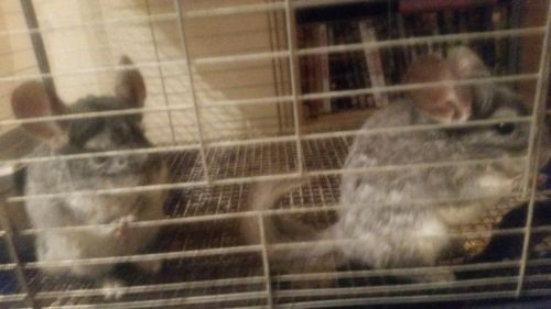 Chinchilla Rodents for sale in Virginia Ave, Santa Monica, CA 90404, USA. price 100USD