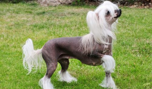 chinese crested dog dog