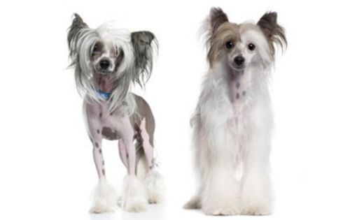 chinese crested dog dogs