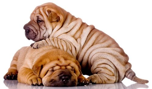 chinese shar pei puppies