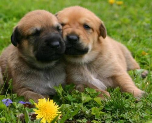 chinook puppies