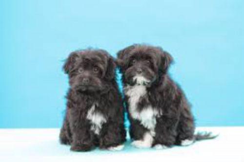 chipoo dogs