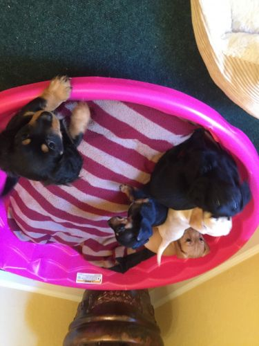 Chiweenie Puppies for sale in West Palm Beach, FL, USA. price 300USD