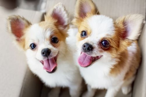 chiweenie dogs