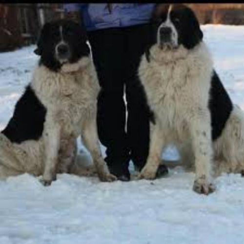 ciobanesc de bucovina dogs