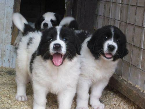 ciobanesc de bucovina puppies