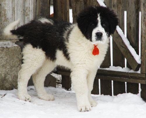 ciobanesc de bucovina puppy
